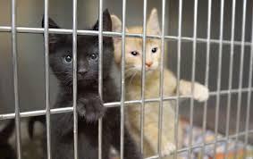 animal shelter kittens. Contemporary Shelter Sasha  With Animal Shelter Kittens Steamboat Pilot