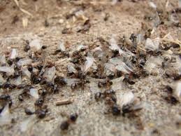 Small Black Flying Bugs In Bedroom Very Tiny Ants In House
