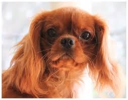 cavaliers dogs. Delighful Cavaliers Teaserbox_4102890168JPGtu003d1502683455 Intended Cavaliers Dogs L