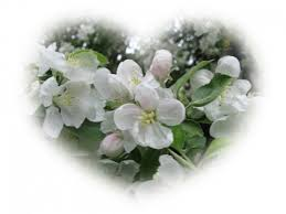 Картинки по запросу ābeļziedi