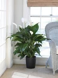 best low light office plants. Peace Lily Best Low Light Office Plants E