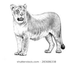 detailed lion drawings in pencil. Contemporary Drawings A Female Lion Or Lioness Illustration In A Detailed Hand Drawn Pencil Sketch  Isolated On To Detailed Lion Drawings In Pencil