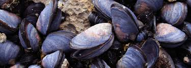 Eating mussels three times a week boosts omega-3 levels   About   University of Stirling