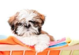 Shih Tzu Age Chart Shih Tzu Puppy Shih Tzu Baby Shih Tzu