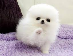 free teacup pomeranian puppies.  Teacup Teacup White Pomeranian  I Need One So Bad Can Walk Around And People  Stare At My Fluffy Fuzzball  Inside Free Puppies Pinterest