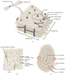 Classification Of Covering And Lining Membranes Complete The Following Chart 14 2 Animal Primary Tissues Concepts Of Biology 1st