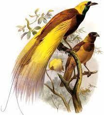 Dengan demikian burung inilah yang menjadikannya salah satu burung dari surga yang paling indah serta menarik di dunia. Burung Cendrawasih Dream Indonesia
