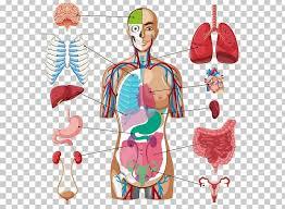 Human Body Organ Diagram Anatomy Png Clipart Anatomy