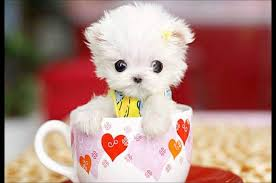 white teacup puppy. Plain Teacup TEACUP Puppy MALTESE White Standing Inside The Cup For Teacup Puppy T