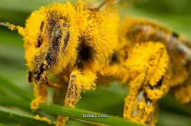 Image result for bee with pollen on legs