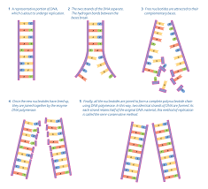 dna replication the semi conservative method year human biology semi conservative