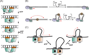 translocation switching and gating potential roles for atp in figure