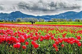 skagit valley tulip festival mt vernon wa roozen gaarde by patrick choi via flickr