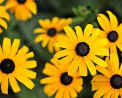 Yellow flowers - Gloriosa Daisy HD ...