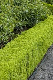If you are thinking about planting a new hedge and have doubts on which  plant is