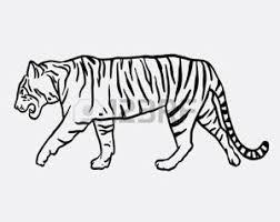 Foto Tigre Disegno Immagini E Vettoriali
