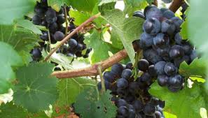 Why Are Our Grapevines Not Producing Fruit Garden Guides