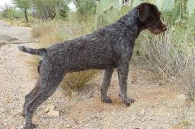 German Shorthaired Pointer Growth Chart German Wirehaired Pointer