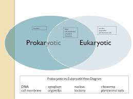 Prokaryotes Vs Eukaryotes Venn Diagram Worksheet Eukaryotic And Prokaryotic Cells Venn Diagram Barca
