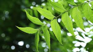benefits and uses of neem the wonder leaf  the benefits and uses of neem the wonder leaf