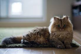 12 Stunning <b>Persian Cats</b>