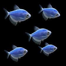 petco glofish. Beautiful Petco GloFish  5Pack Cosmic Blue Tetra Throughout Petco Glofish