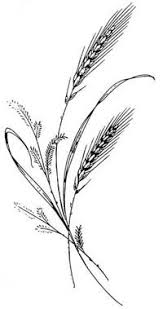 wheat drawing. Fine Drawing Wheat Drawing  Google Search Intended Wheat Drawing