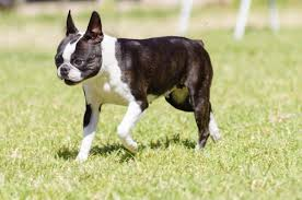 this is a small and pactly built dog with erect ears short tails and a short wrinkle free muzzle with short haired coat that requires less grooming