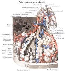 Легкие человека Анатомия Легких строение функции картинки на  Альвеолярные