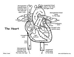 Small Picture Blood Flow Through the Heart Coloring Page