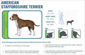 American Staffordshire Terrier Behavior Goldenacresdogs Com
