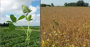 Soybean Physiology Reproductive Stages