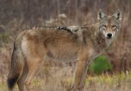 grey wolf size easternwolf_clip_image002 jpg