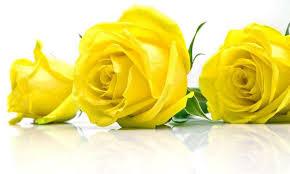 """Результат пошуку зображень за запитом """"картинки троянди жовто сині"""""""