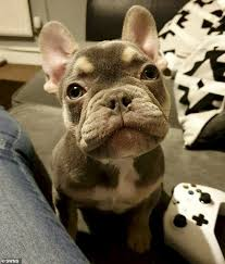 Family Are Left Devastated After Their 2 600 French Bulldog