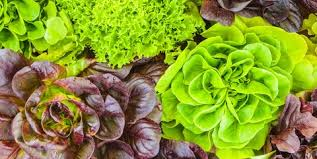 Lettuce Types Chart Types Of Lettuce Different Varieties Of Lettuce