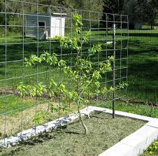 Save Space And Increase Yield With Espalier Fruit Trees Growing Cordon Fruit Trees