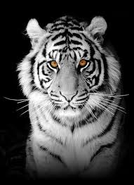 white tiger with blue eyes tattoo. Modren Eyes I Would Like This As My Tattoo But With Blue Eyesthe Kids Names In Hearts  Around The Top Of His Head Intended White Tiger With Blue Eyes Tattoo