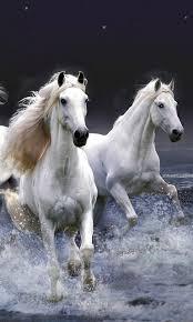 white horses running. Interesting White UN PEU DE TOUT By Rachidmiliani1 Via Flickr Inside White Horses Running W