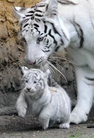 cute baby tiger wallpaper. Plain Baby White Tiger Wallpapers HD Wallpaper  Intended Cute Baby A