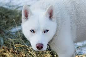 pure white husky with blue eyes. Brilliant Husky A White Siberian Husky With Blue Eyes Walking In The Winter For Pure White Husky With Blue Eyes E