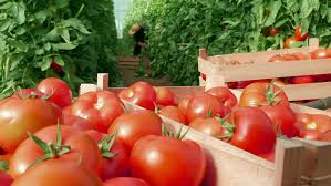 in foreground fresh tomatoes packed in wooden boxes in focus close up in background blurred female farmer picking crates from the plants in a greenhouse