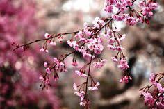 cherry blossom flower wallpaper cherry blossom backgrounds fl wallpapers cherry blossoms