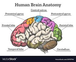Brain Chart Human Brain Anatomy Diagram