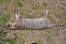 ocelot size ocelot hit by car in palo pinto texas wildlife pro