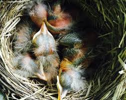 Baby Robins Growth Chart American Robin Nestling Chick Development Photos Of Baby
