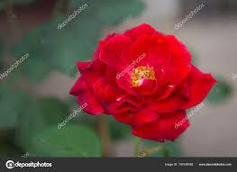 flores rosas vermelhas natureza jardim flor amor bom dia fotografia de stock