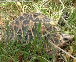 Indian Star Tortoise Diet Chart Care Sheet Star Tortoise