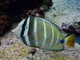Östlicher Segelflossen-Doktorfisch