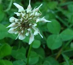 Trifolium repens - Online Virtual Flora of Wisconsin